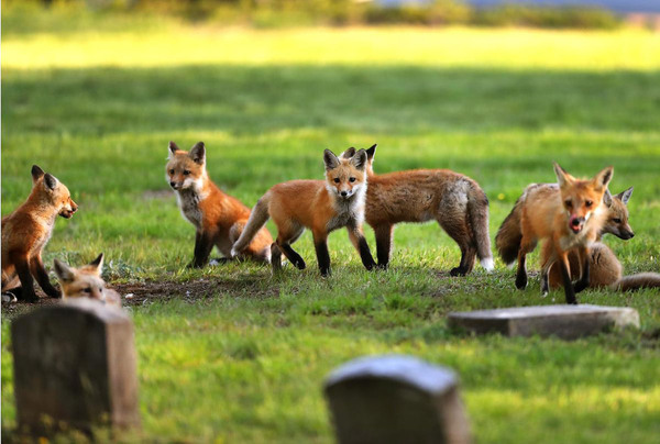 fox animal family