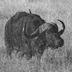 buffaloboom
