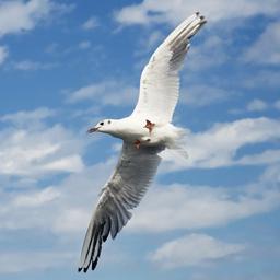 WhiteSeagull
