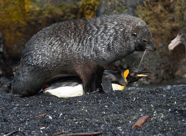 pingvini-ebutsya-foto-v-halate-rozovom-ero-molodaya