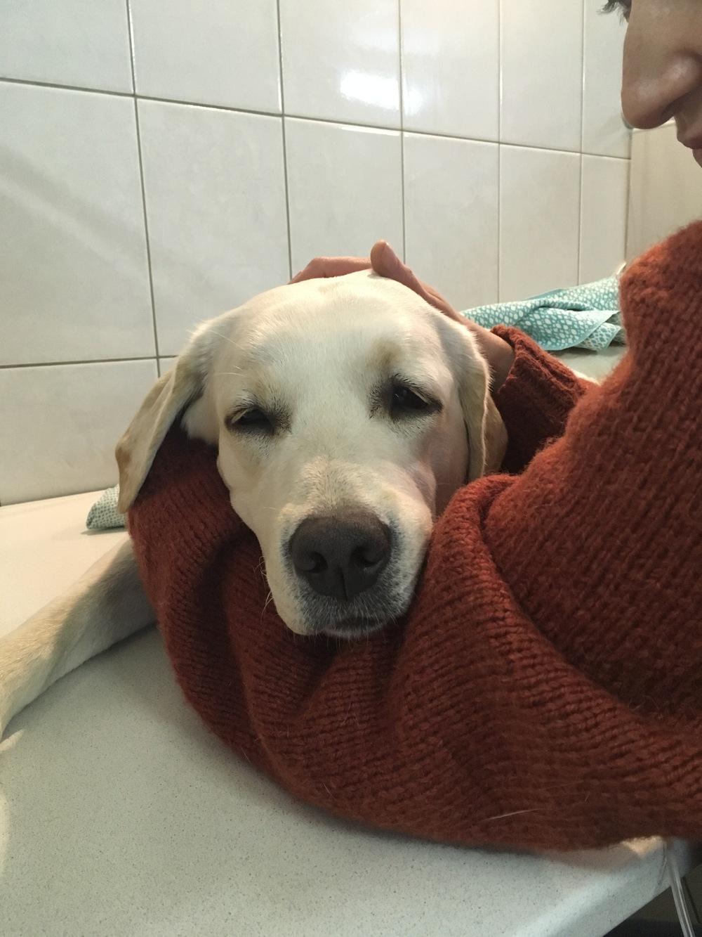 Член пса застрял в хозяйке
