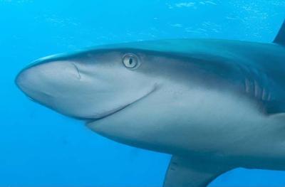 Акула два пениса