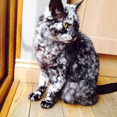 Витилиго у кошек фото thumbnail