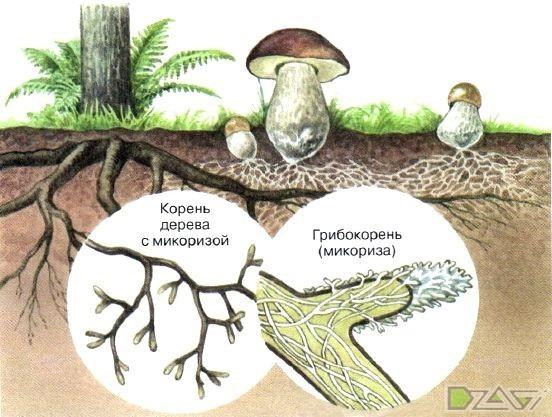 Резать, рвать или выкручивать? Как правильно собирать грибы. грибы, не мое, статья, длиннопост