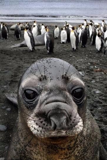 Встреча Тюлень, Ластоногие, Фото, Животные, Встреча, Тюлень любви, Морда, Длиннопост