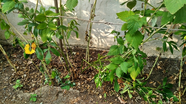 Домашняя флора сад, Огород, урожай, малина, длиннопост