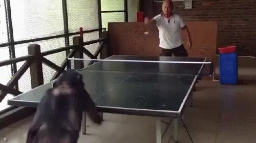 Всегда найдется азиат, который даже обезьяну научит играть в настольный теннис, лучше, чем ты Настольный теннис, Пинг-Понг, Обезьяна, Азиаты, Гифка