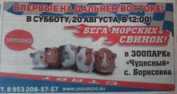 Самые зрелищные гонки Старая газета, Морская свинка, Прикол, Бега