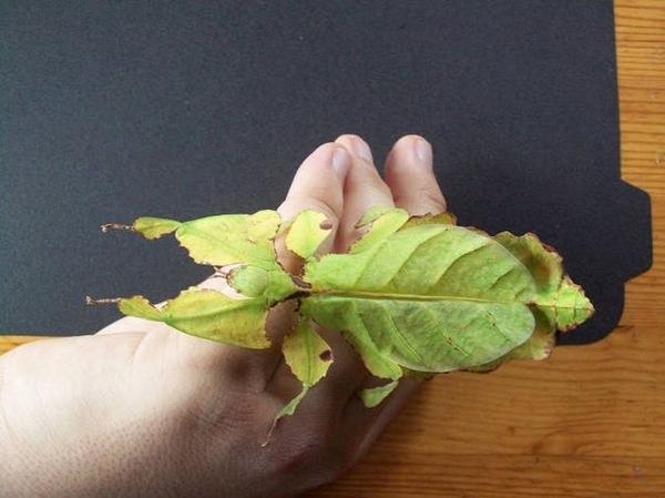 Сын принес красивый листочек домой Листотел, Насекомые, Да ну нафиг
