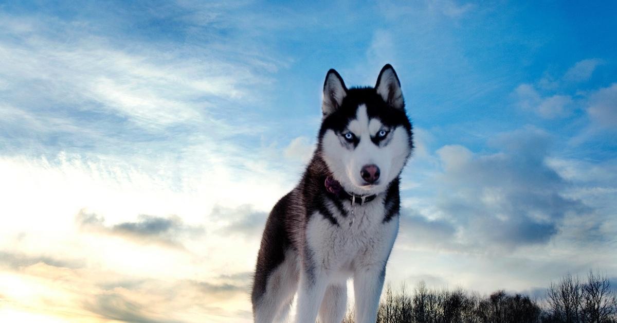 huskies 68 61 gliac win -