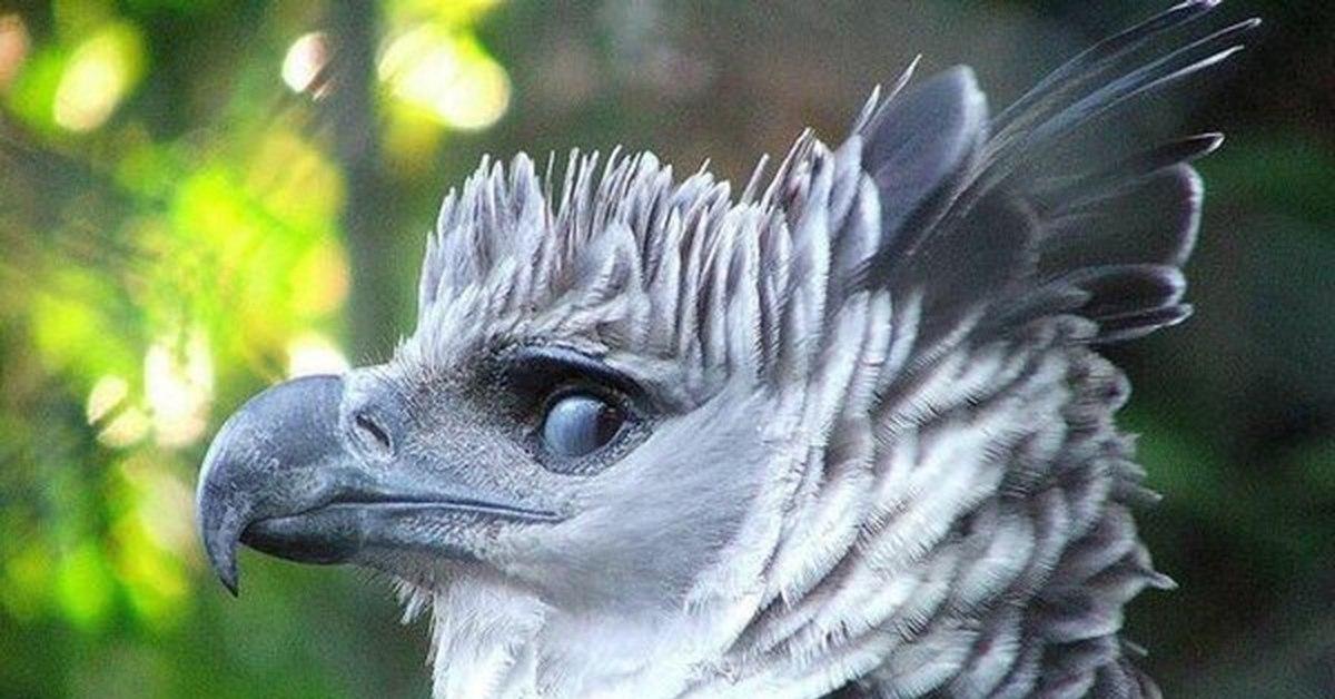 фото птица гарпия