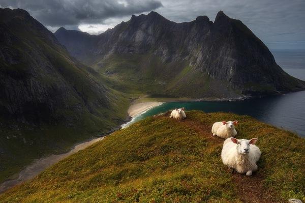 Барашки в Норвегии Дзен, фотография, Баран, норвегия, пейзаж, побережье