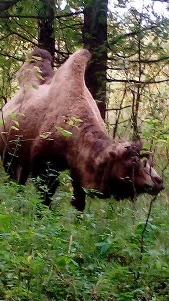 Мытищинский верблюд верблюды, лес, мытищи