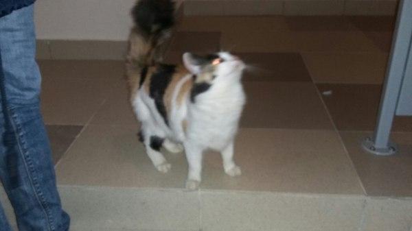 Молодая кошка ищет новых хозяев. Санкт-Петербург. Кот, В добрые руки, Пристройство, Санкт-Петербург