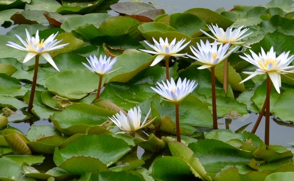 Лягуши и кувшинки пруд, Природа, лягушки, Фото, фотография, длиннопост