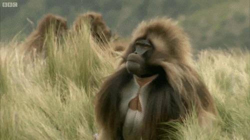 Пресвятые бананки, вы когда-нибудь видели, как зевают бабуины?