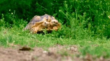 Двухголовая шпороносная черепаха (Geochelone sulcata)
