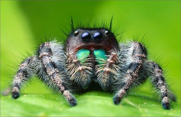 Отныне вы будете вести себя тише. паук, биология, The Batrachospermum Magazine