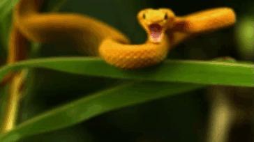 Цепкохвостый ботропс Шлегеля (Bothriechis schlegelii) Змея, Ядовитая змея, Террариумистика, Гадюки, Гифка