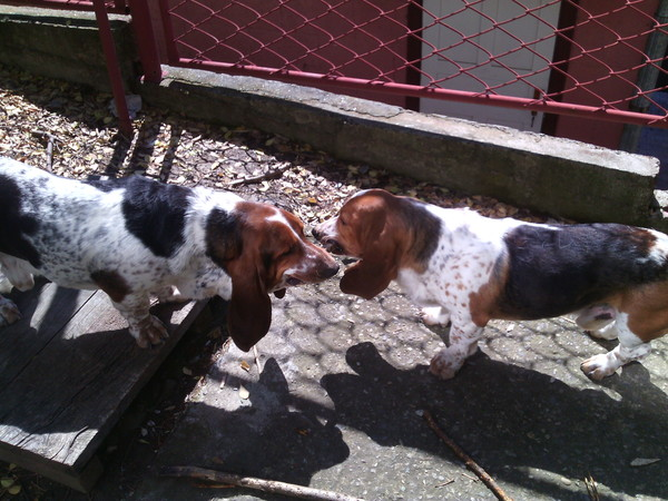 Мои псы. Бассет Хаунд, Собака, Длиннопост