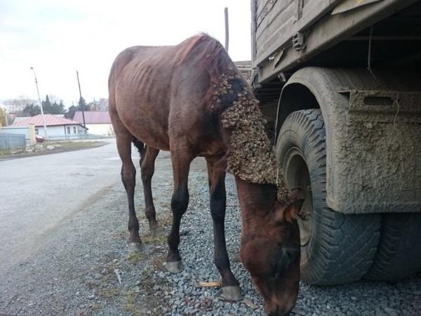 В городе Серове жители нашли бездомную лошадь Серов, Урал, Лошади, Помощь, Длиннопост