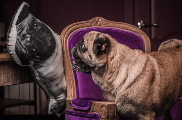 Продолжим с портретами? Мопс, Фото, Портрет, Собака, Kare, Мебель, Длиннопост