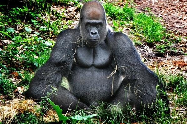 Смотреть онлайн видео секс горил