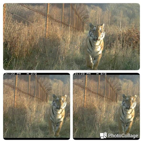 Включаем фантазию! Амурский тигр, Центр тигр, Имя для котика, Владивосток