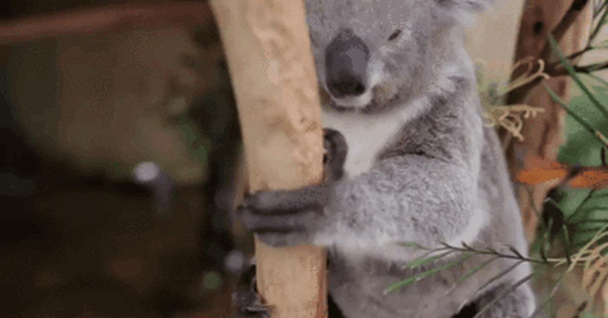 Sad koala gif