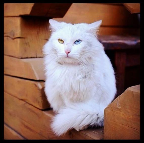 Звенигородский котейка Кот, Звенигород, Животные, Россия, Гетерохромия