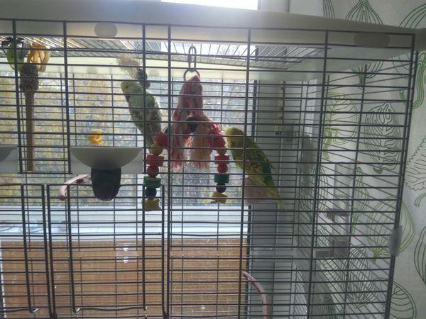 Отдам в хорошие руки двух волнистых попугаев. (Попытка номер 2). Отдам, В добрые руки, Попугай, Москва