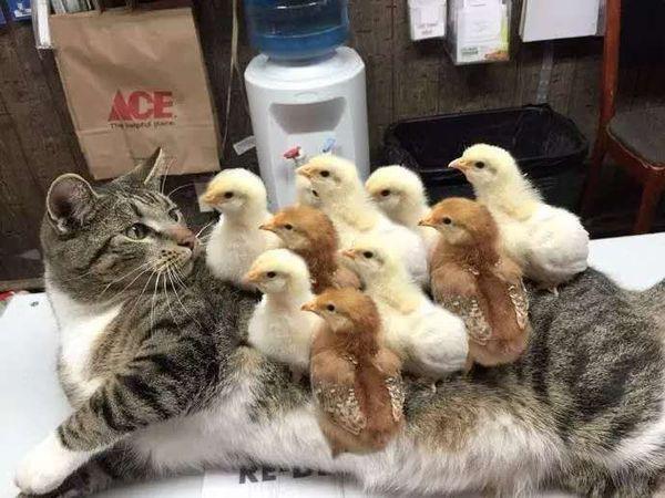 Кот заболел цыплянкой