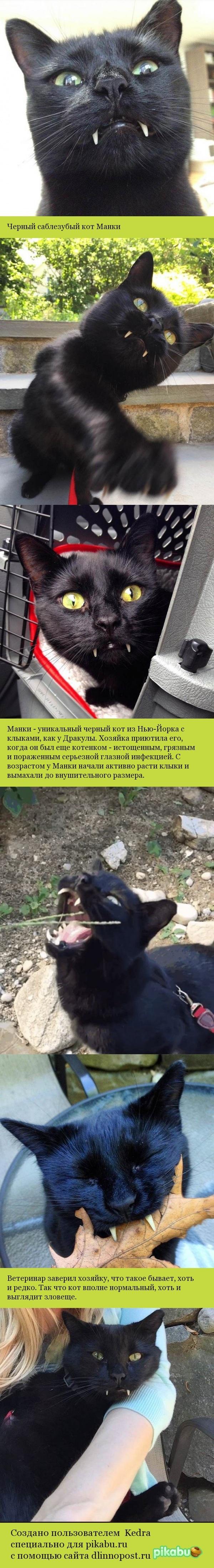 Черный саблезубый кот Манки кот, дракула, саблезубый, черный красавчик, длиннопост