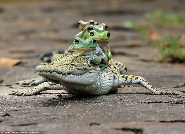 Наглые лягушки прокатились на спине крокодила =) лягушки, крокодил, кайман, длиннопост, Индонезия