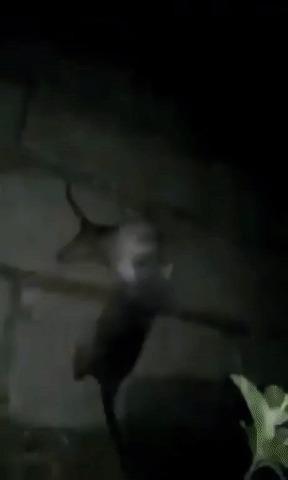 Крысиный бокс