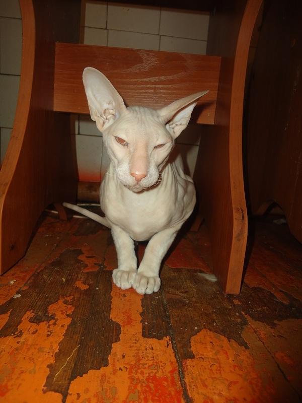 коты сфинксы в приюте сменили