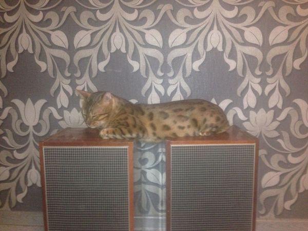 Очень удобно Кот, Бенгальская кошка, Удобство
