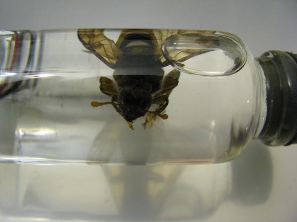 Странное насекомое. Насекомые, шершень