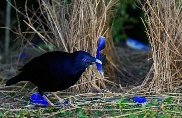 Шалашник - птица-дизайнер   Пикабу