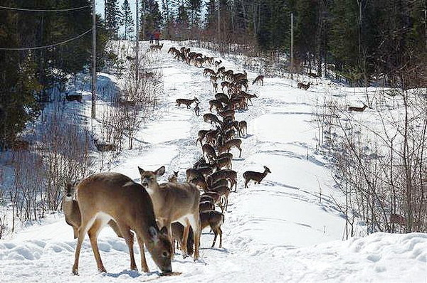 Перед загоном на охотников