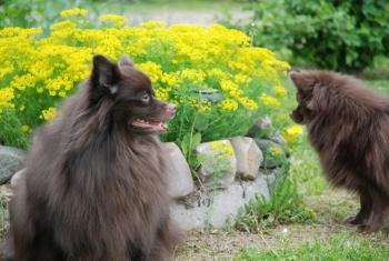 Мои животные)) Собака, Фото, Шпиц, Nikon, Природа