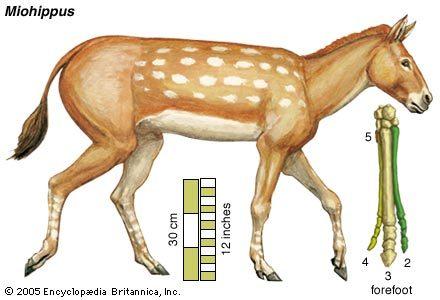 Учёные выяснили, сколько пальцев у лошади  148164755126764377