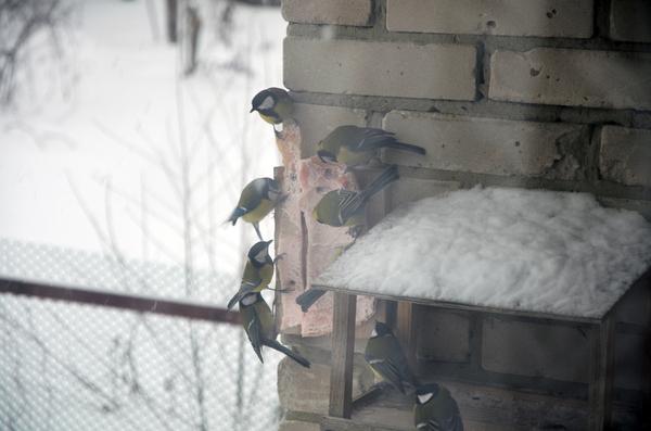 """Всегда найдётся тот, кто суровей """"Суровых синиц"""" фото, птицы, синица, кормушка, сало"""