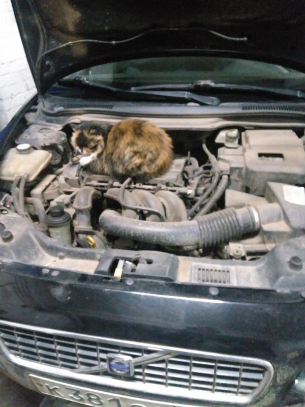 А киска разбирается в машинах Volvo, Кот, Сервис