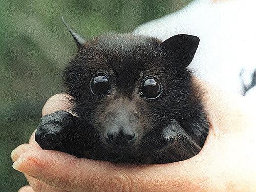 Детка летучей лисицы