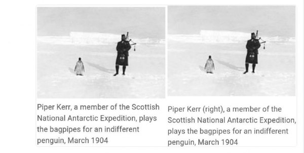 Волынщик Керр и пингвин Волынка, Пингвины, Историческое фото, Википедия, Юмор, 1904