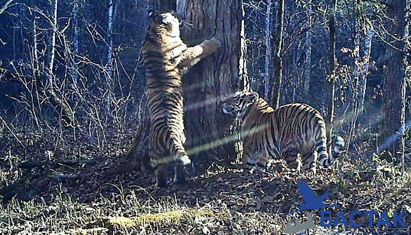 Конкурс имен для тигрят Тигр, Заповедник, Заповедник Бастак, Золушка, Конкурс имен, Длиннопост