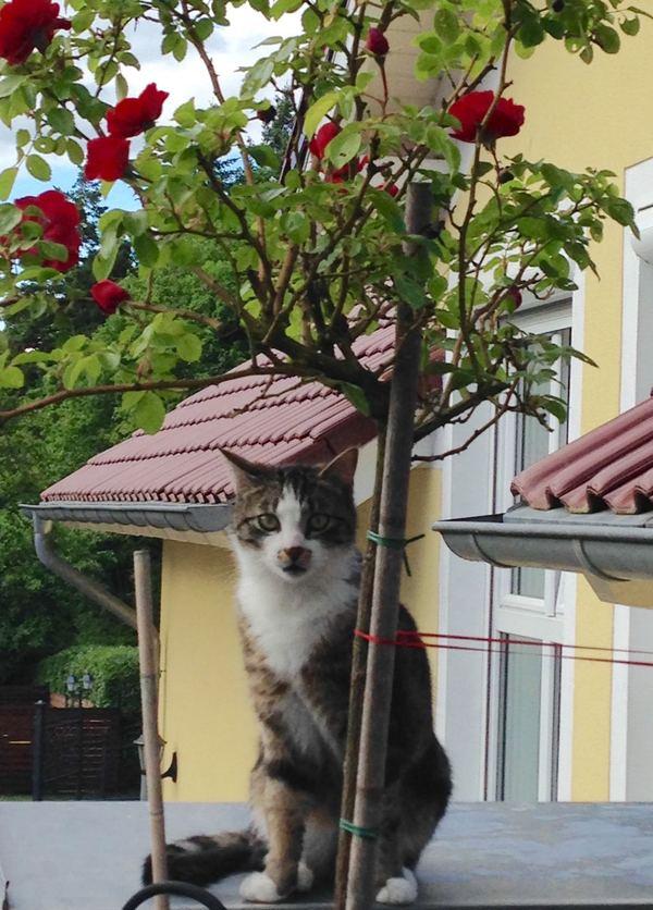 Под любимой розой своей... Моё, Кот, Фото, Роза, Садовник, Ценитель прекрасного, Длиннопост