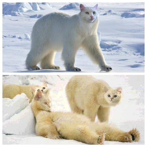 Коты белые медведи
