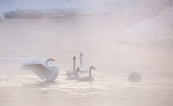 Зимовка лебедей на Камчатке Паратунка, Лебеди, Зимовка, Зима, Камчатка, Россия, Фото, Природа, Длиннопост
